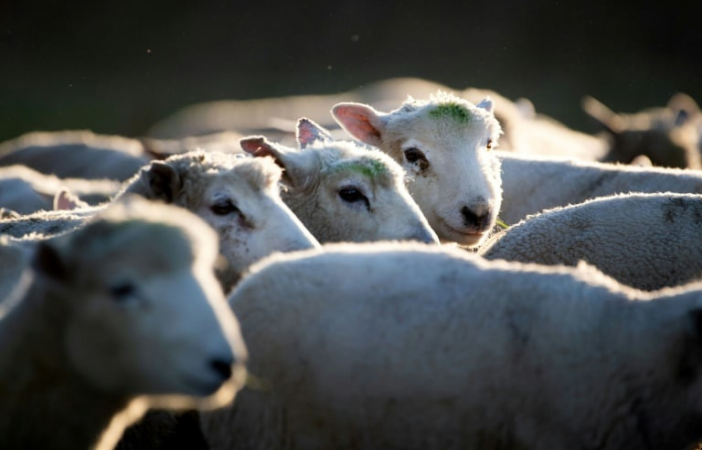 Baaa-d time for farmer after sheep stolen from Hawke's Bay farm