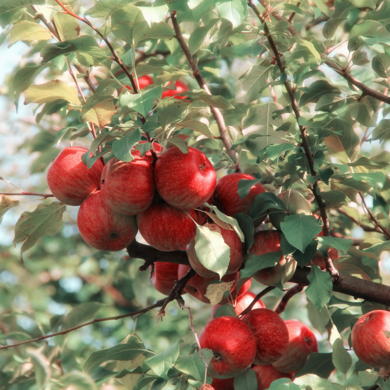 Illegal workers found at Hastings orchard