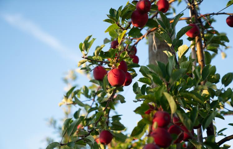 MyFarm launches new $9.3m Hawke's Bay Rockit apple syndicate