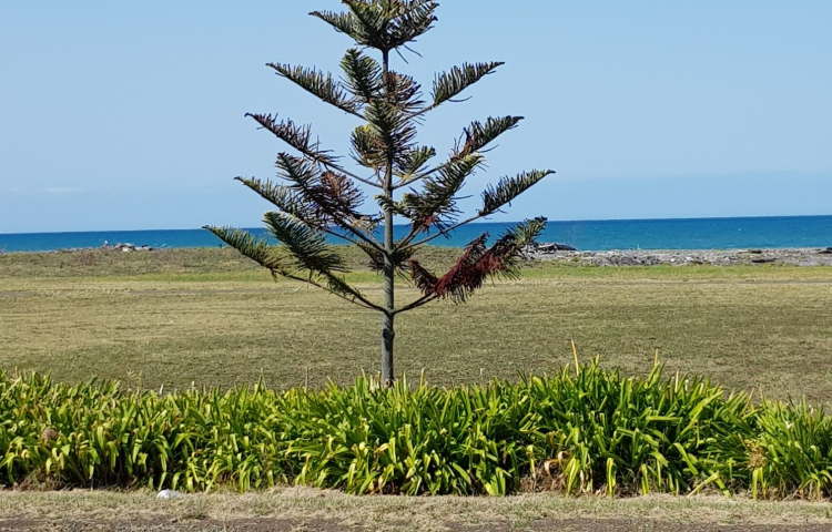Mystery surrounds poisoning of Norfolk pines in Napier