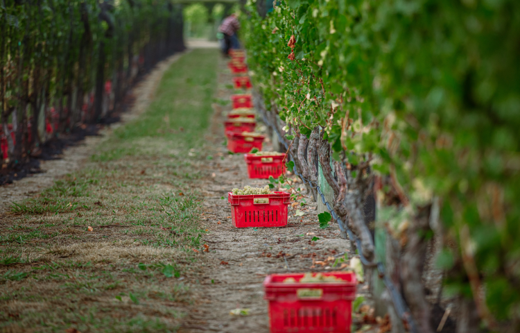 """""""Near-perfect"""" growing conditions produce third """"outstanding"""" vintage, Hawke's Bay Winegrowers say"""