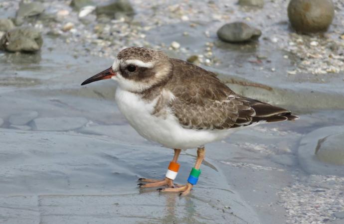 Ocean Beach visit highlights plight of rare shore plover